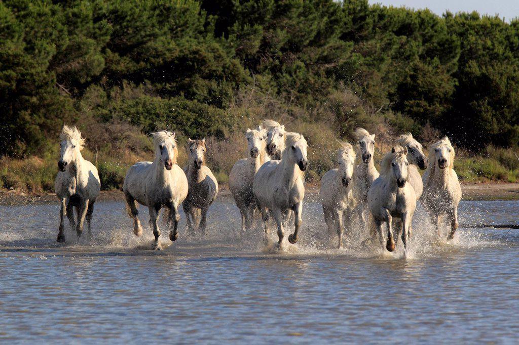 Stock Photo: 4133-26537 Camargue Horse,Equus caballus,Saintes Marie de la Mer,France,Europe,Camargue,Bouches du Rhone