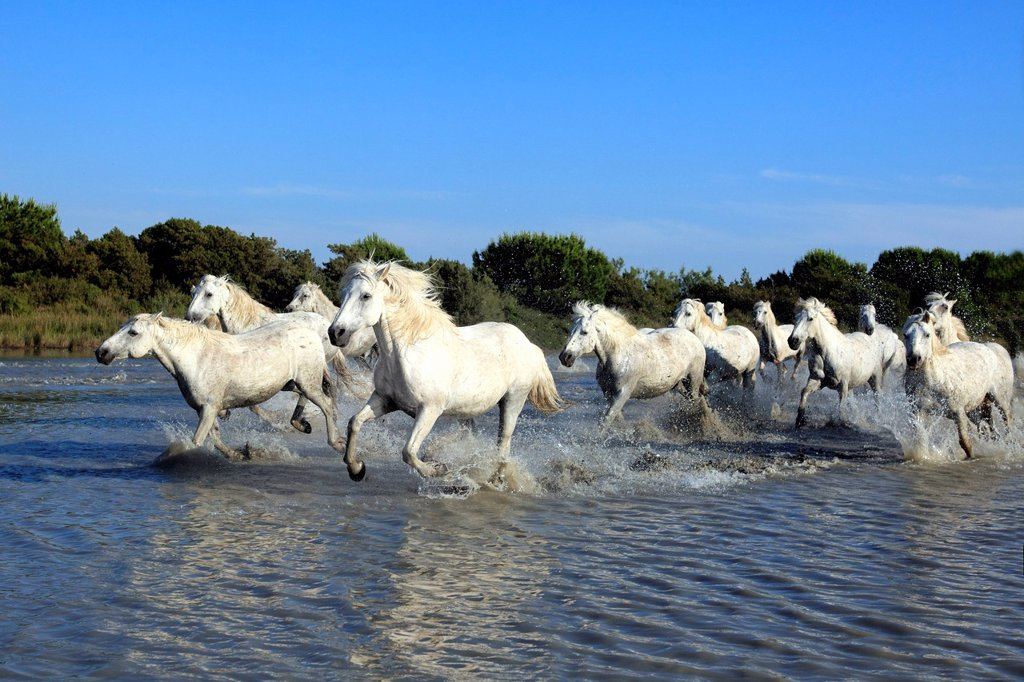 Stock Photo: 4133-26565 Camargue Horse,Equus caballus,Saintes Marie de la Mer,France,Europe,Camargue,Bouches du Rhone