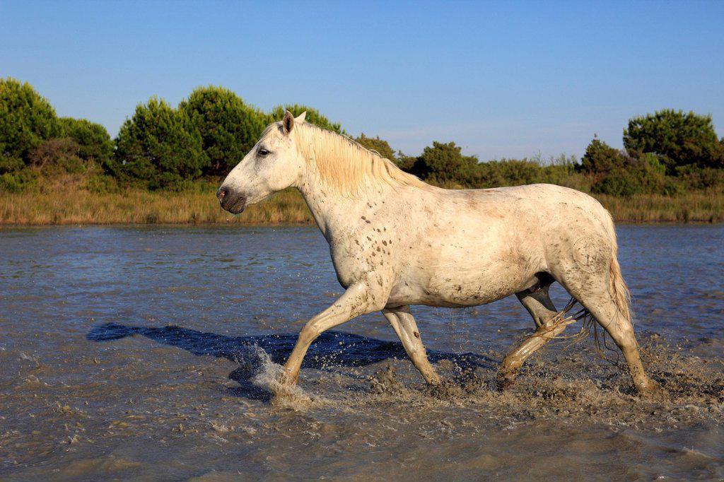 Stock Photo: 4133-26574 Camargue Horse,Equus caballus,Saintes Marie de la Mer,France,Europe,Camargue,Bouches du Rhone