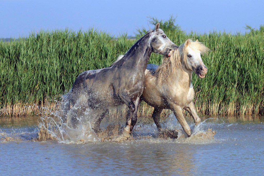 Stock Photo: 4133-26616 Camargue Horse,Equus caballus,Saintes Marie de la Mer,France,Europe,Camargue,Bouches du Rhone