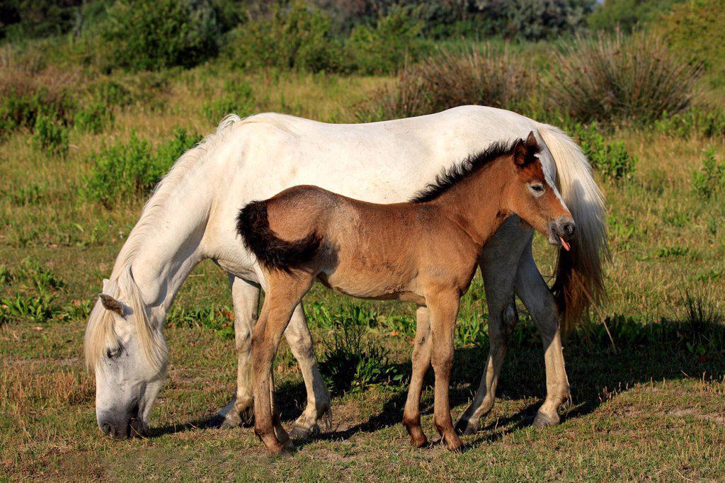 Stock Photo: 4133-26652 Camargue Horse,Equus caballus,Saintes Marie de la Mer,France,Europe,Camargue,Bouches du Rhone