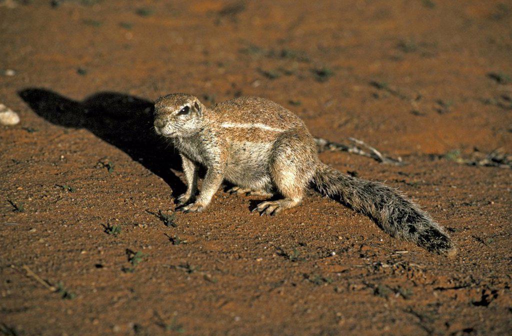 Stock Photo: 4133-2671 Ground Squirrel,Xerus inaurus,Kalahari Kgalagadi Transfrontier Park,South Africa,Africa