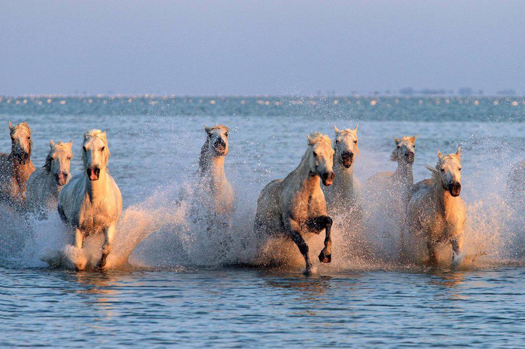 Stock Photo: 4133-26740 Camargue Horse,Equus caballus,Saintes Marie de la Mer,France,Europe,Camargue,Bouches du Rhone