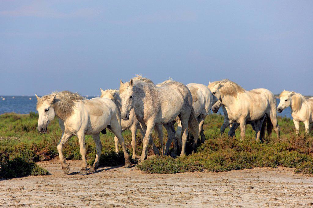 Stock Photo: 4133-26741 Camargue Horse,Equus caballus,Saintes Marie de la Mer,France,Europe,Camargue,Bouches du Rhone