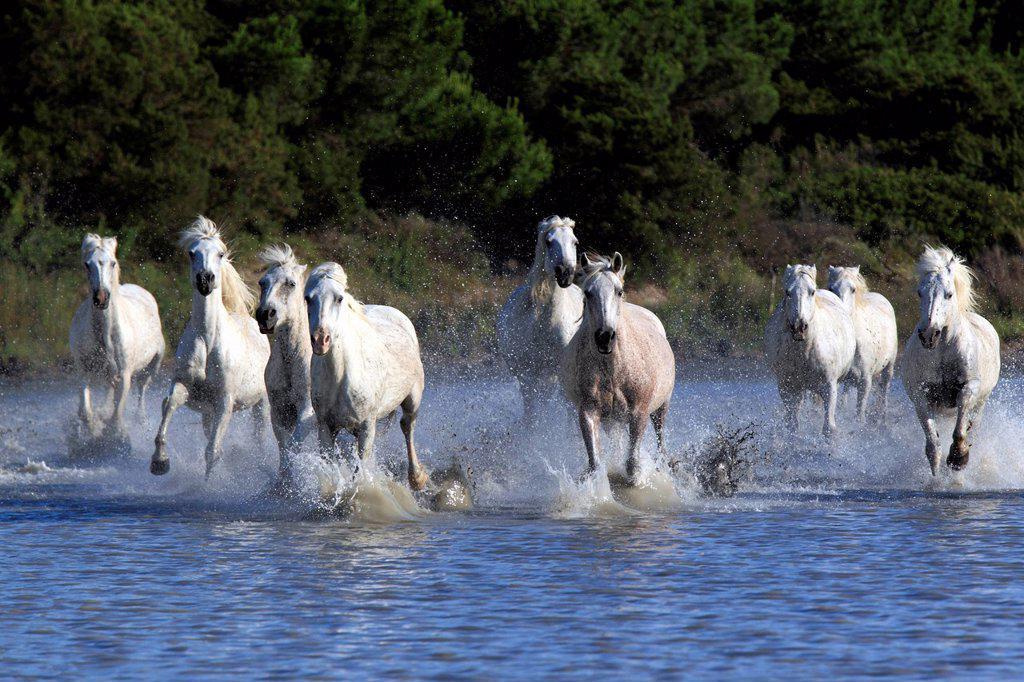 Camargue Horse,Equus caballus,Saintes Marie de la Mer,France,Europe,Camargue,Bouches du Rhone : Stock Photo