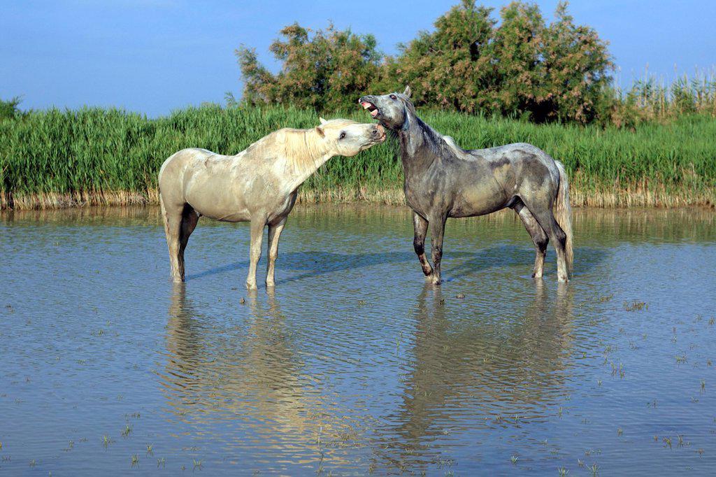 Stock Photo: 4133-26881 Camargue Horse,Equus caballus,Saintes Marie de la Mer,France,Europe,Camargue,Bouches du Rhone