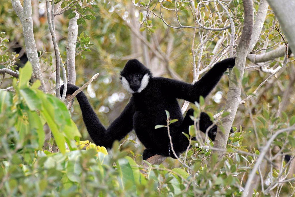 Black Gibbon,Hylobates concolor,Asia : Stock Photo