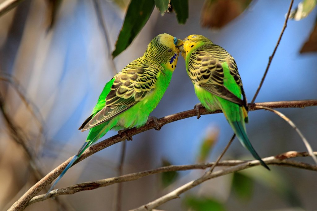 Stock Photo: 4133-27128 Budgerigar,Melopsittacus undulatus,Alice Springs,Northern Territory,Australia