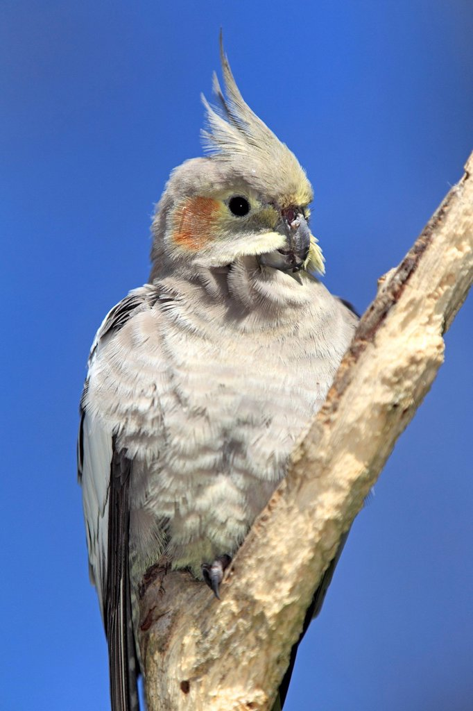Stock Photo: 4133-27179 Cockatiel,Nymphicus hollandicus,Outback,Northern Territory,Australia