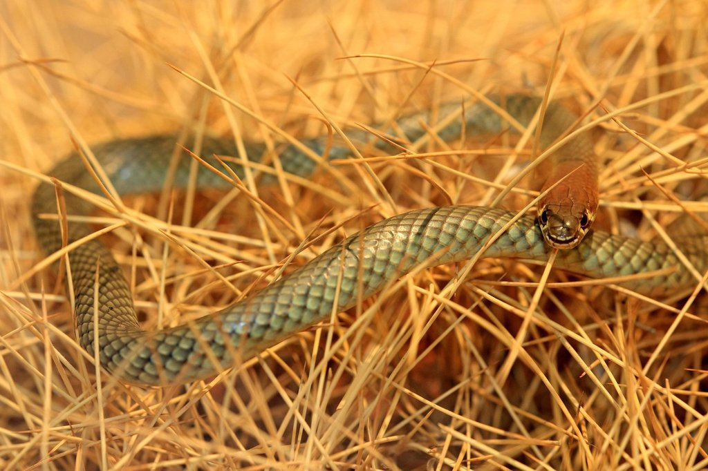 Stock Photo: 4133-27271 Yellow_Faced Whip Snake,Demansia psammophis,Outback,Northern Territory,Australia