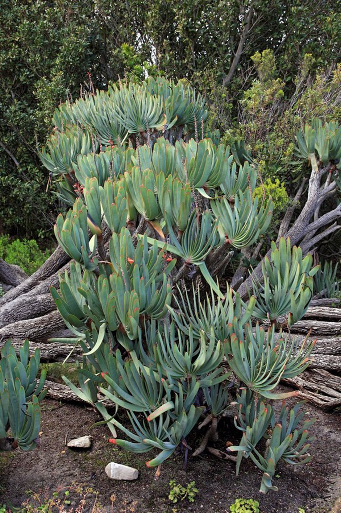 Stock Photo: 4133-27554 Fan Aloe,Aloe plicatilis,Harold Porter botanical garden,Betty´s Bay,Western Cape,South Africa,Africa