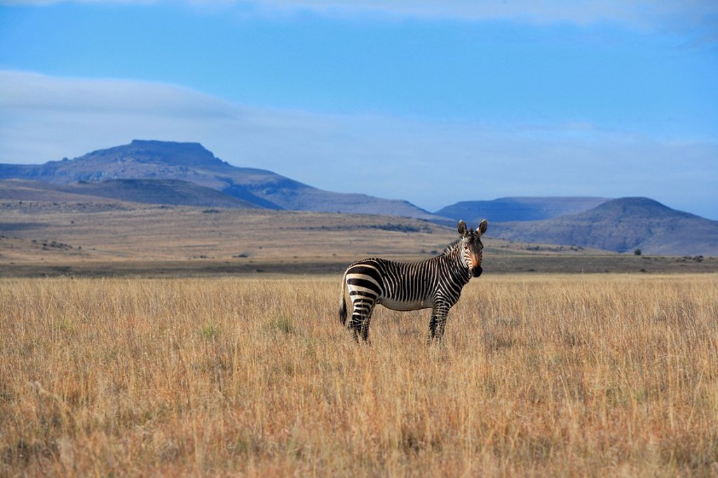 Stock Photo: 4133-27692 Cape Mountain Zebra,Equus zebra zebra,Mountain Zebra Nationalpark,South Africa,Africa