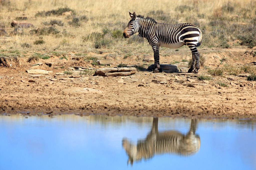 Stock Photo: 4133-27724 Cape Mountain Zebra,Equus zebra zebra,Mountain Zebra Nationalpark,South Africa,Africa