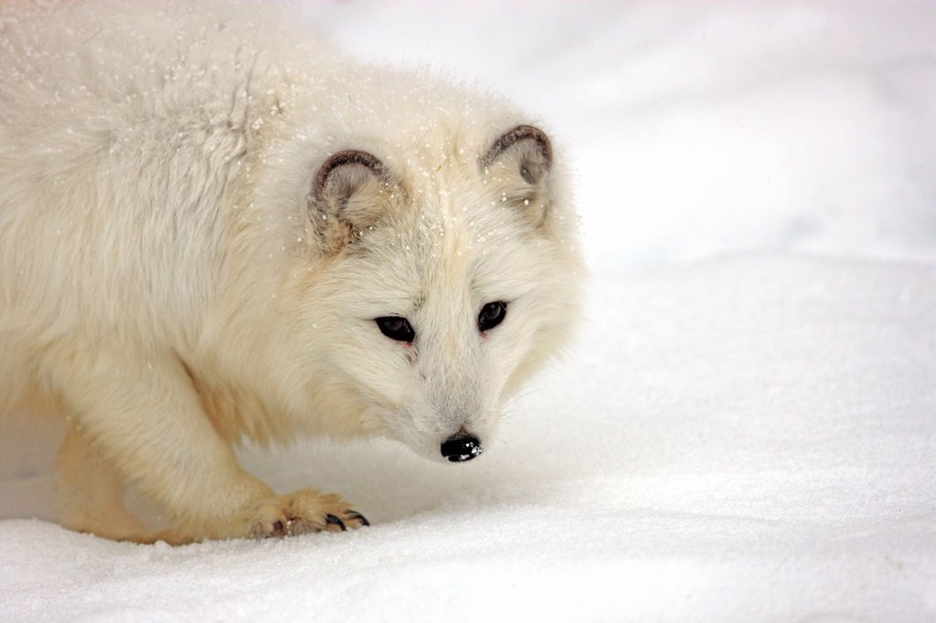 Stock Photo: 4133-27805 Arctic Fox,Alopex lagopus,Montana,North America,USA
