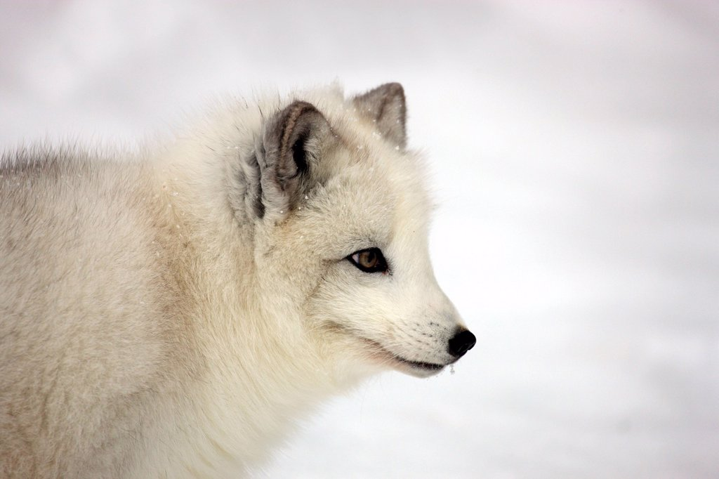 Stock Photo: 4133-27806 Arctic Fox,Alopex lagopus,Montana,North America,USA