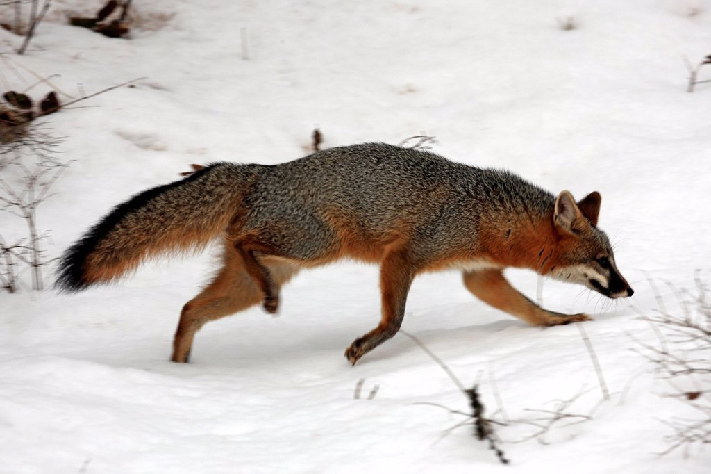 Gray fox,Urocyon cinereoargenteus,Montana,USA,North America : Stock Photo
