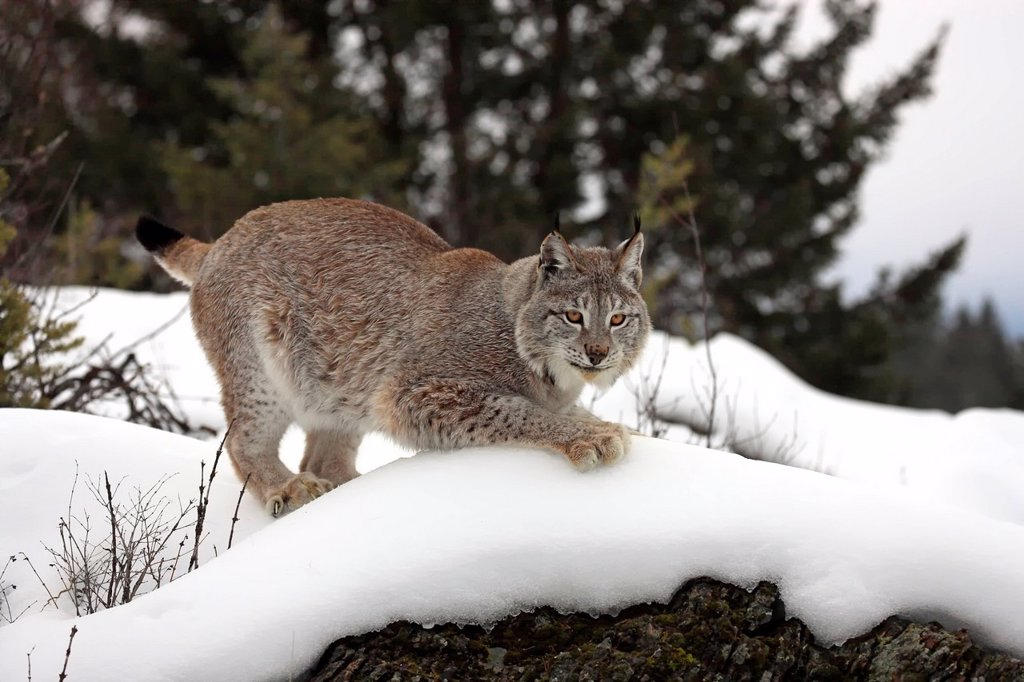 European Lynx,Felis lynx,Montana,North America,USA : Stock Photo