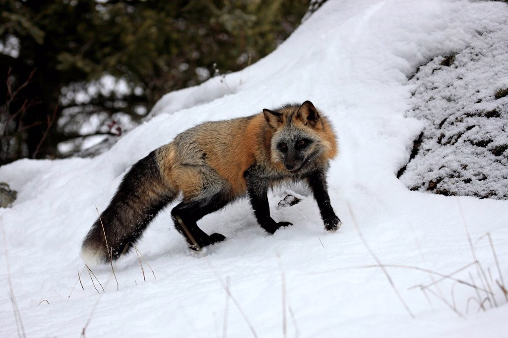 American Red Fox,Crossfox,Vulpes vulpes,Montana,USA,North America : Stock Photo