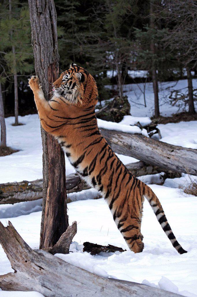 Siberian Tiger,Panthera tigris altaica,Asia : Stock Photo