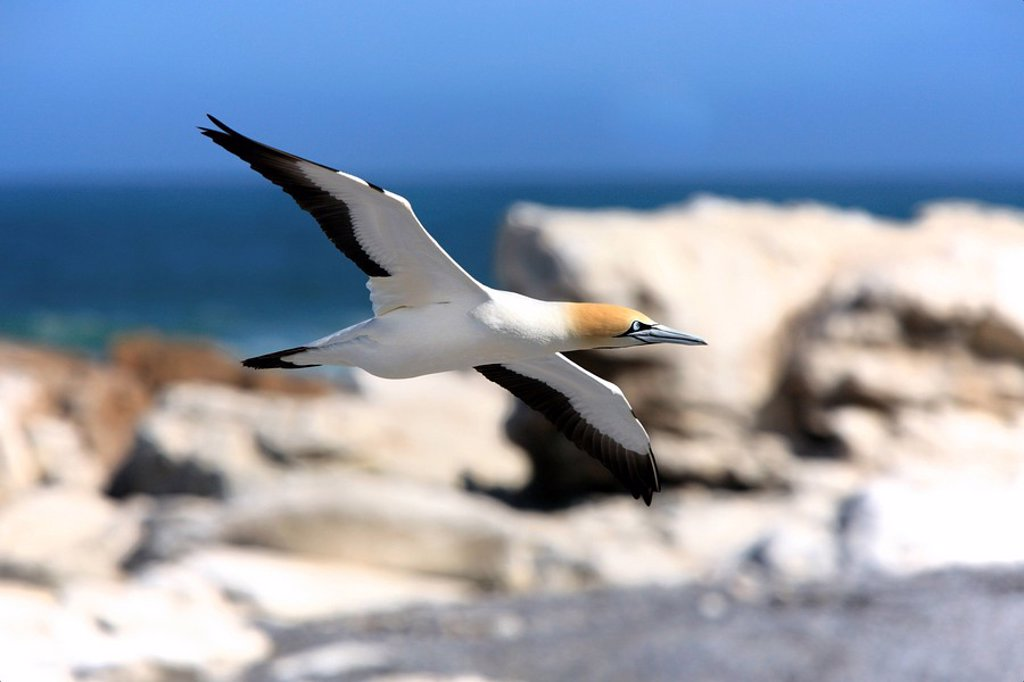 Stock Photo: 4133-28373 Cape Gannet,Morus capensis,Lambert´s Bay,South Africa,Africa