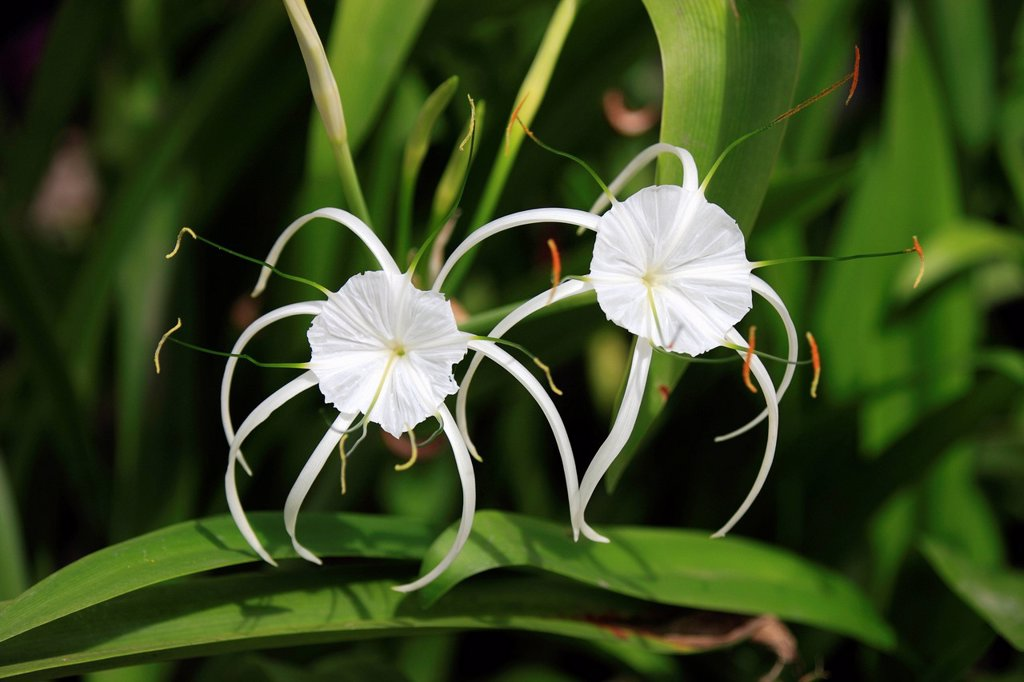 Stock Photo: 4133-28486 Spider Lily,Hymenocallis occidentalis,Kota Kinabalu,Borneo,Sabah,Malysia,Asia. Spider Lily,Hymenocallis occidentalis,Kota Kinabalu,Borneo,Sabah,Malysia,Asia,blooming