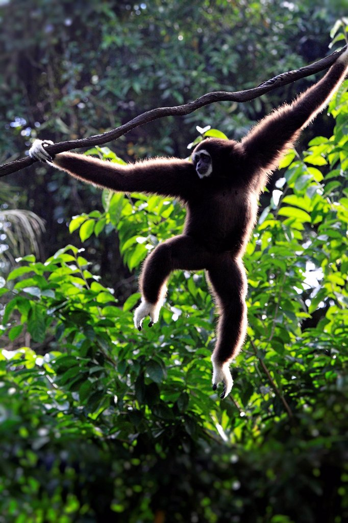 Stock Photo: 4133-28856 White Handed Gibbon,Hylobates lar,Asia. White Handed Gibbon,Hylobates lar,Asia,adult climbing on tree