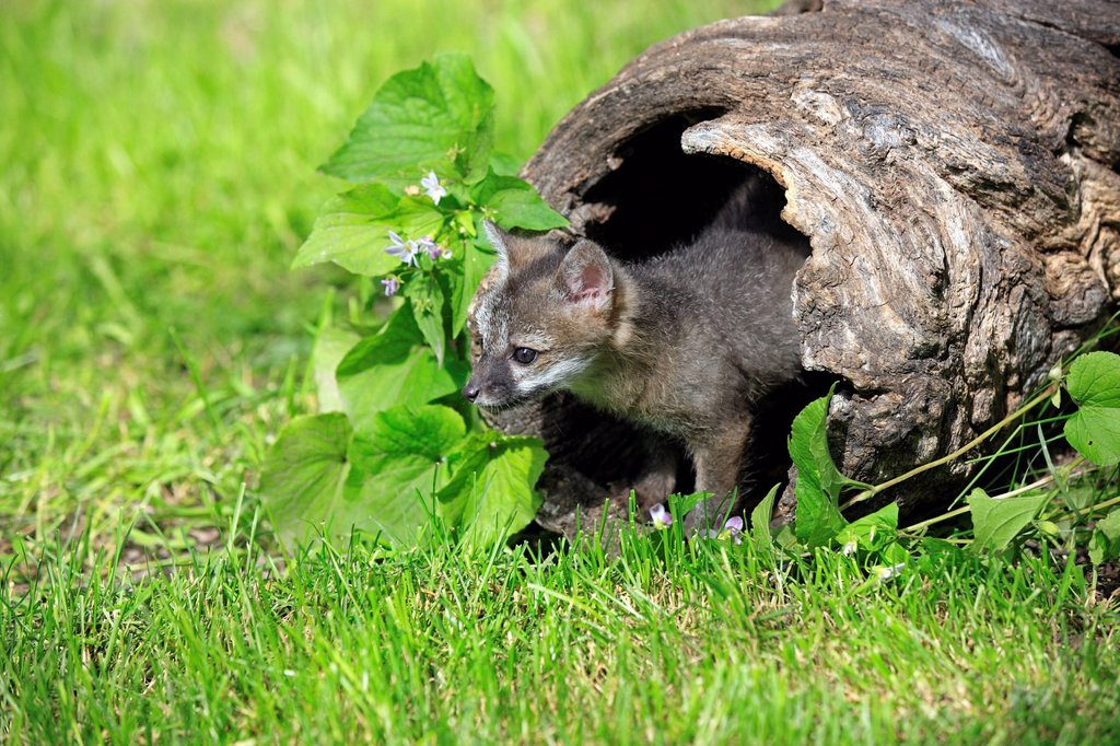 Stock Photo: 4133-29321 Gray fox,Urocyon cinereoargenteus,Montana,USA,North America. Gray fox,Urocyon cinereoargenteus,Montana,USA,North America,young at den
