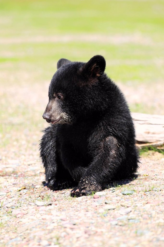 Black Bear,Ursus americanus,Montana,USA,North America. Black Bear,Ursus americanus,Montana,USA,North America,young : Stock Photo