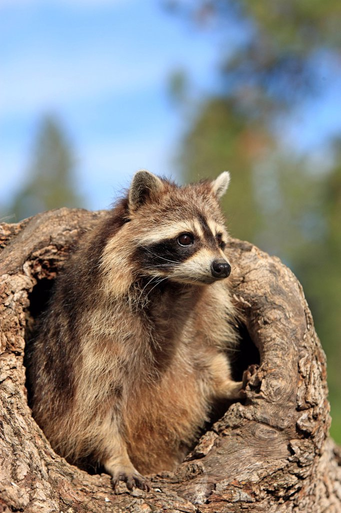 North American Raccoon,Procyon lotor,Montana,USA,North America. North American Raccoon,Procyon lotor,Montana,USA,North America,adult female at den : Stock Photo