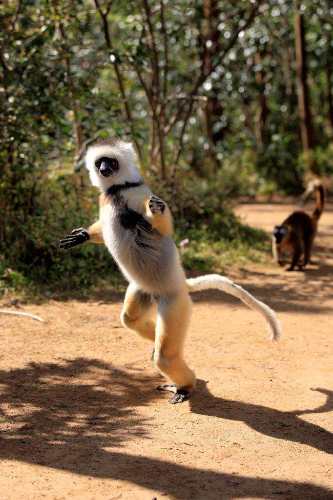 Diademed Sifaka, Propithecus diadema, Madagascar, Africa. Diademed Sifaka, Propithecus diadema, Madagascar, Africa, adult jumping : Stock Photo