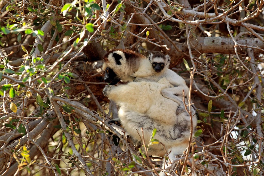 Verreaux`s Sifaka, Propithecus verreauxi, Berenty Reserve, Madagascar, Africa. Verreaux`s Sifaka, Propithecus verreauxi, Berenty Reserve, Madagascar, Africa, adult with young on tree : Stock Photo