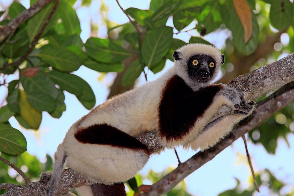Stock Photo: 4133-29811 Coquerel Sifaka, Propithecus coquereli, Madagascar, Africa. Coquerel Sifaka, Propithecus coquereli, Madagascar, Africa, on tree
