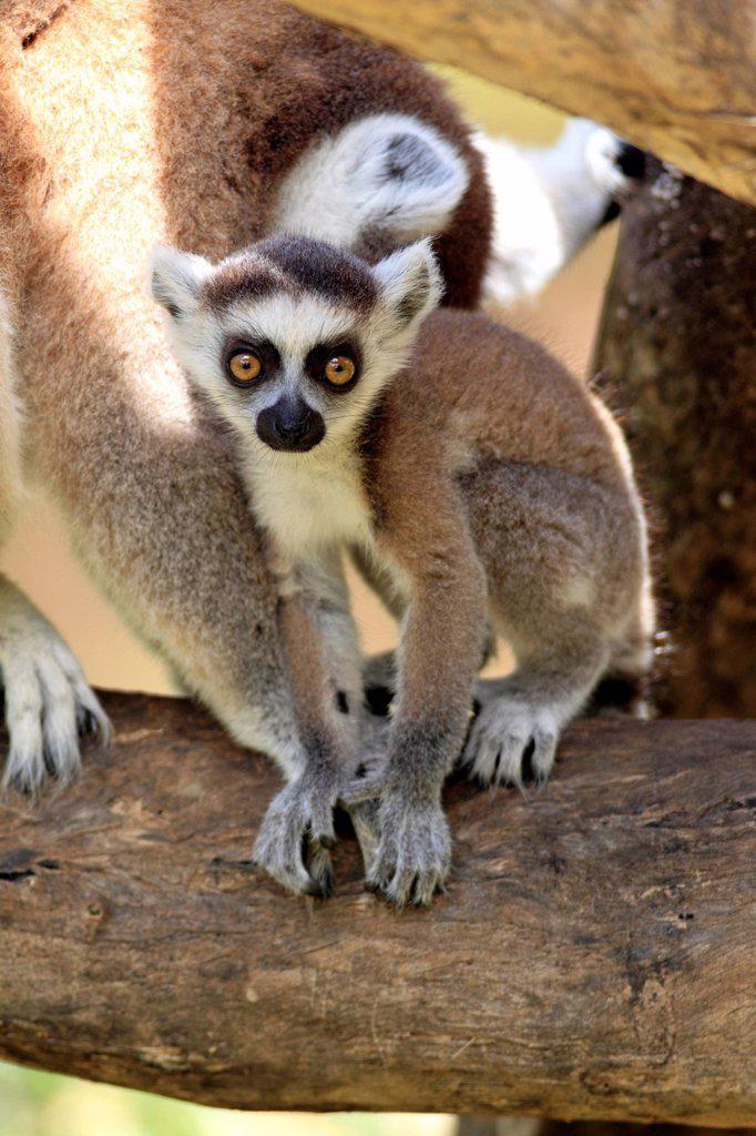 Ring Tailed Lemur, Lemur catta, Berenty Reserve, Madagascar, Africa. Ring Tailed Lemur, Lemur catta, Berenty Reserve, Madagascar, Africa, young : Stock Photo