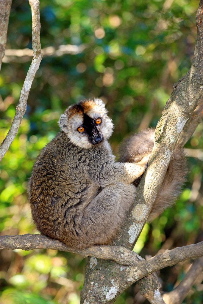 Red_Fronted Lemur, Lemur fulvus rufus, Berenty Reserve, Madagascar, Africa. Red_Fronted Lemur, Lemur fulvus rufus, Berenty Reserve, Madagascar, Africa, adult on tree : Stock Photo