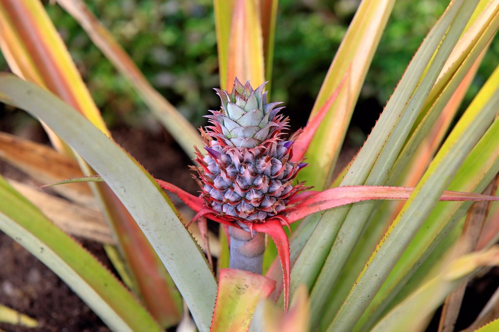 Pineapple, Ananas comosus, Madagascar, Africa, Nosy Komba. Pineapple, Ananas comosus, Madagascar, Africa, Nosy Komba, fruit : Stock Photo