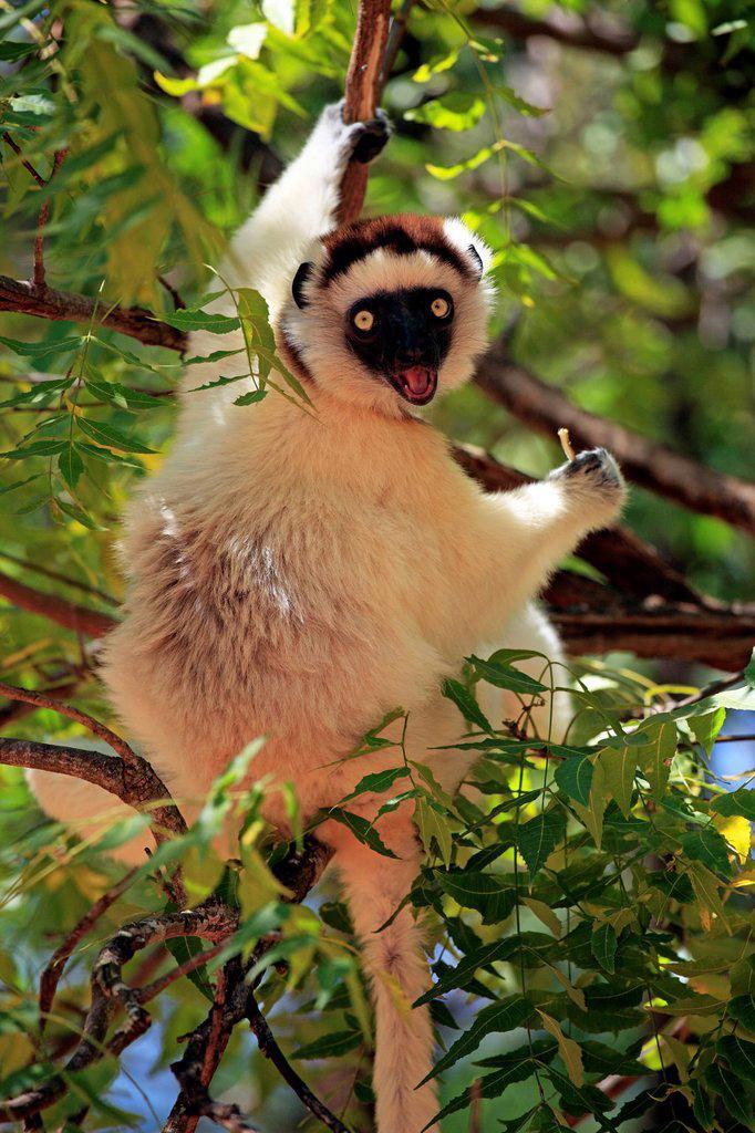 Stock Photo: 4133-30015 Verreaux`s Sifaka, Propithecus verreauxi, Berenty Reserve, Madagascar, Africa. Verreaux`s Sifaka, Propithecus verreauxi, Berenty Reserve, Madagascar, Africa, adult on tree