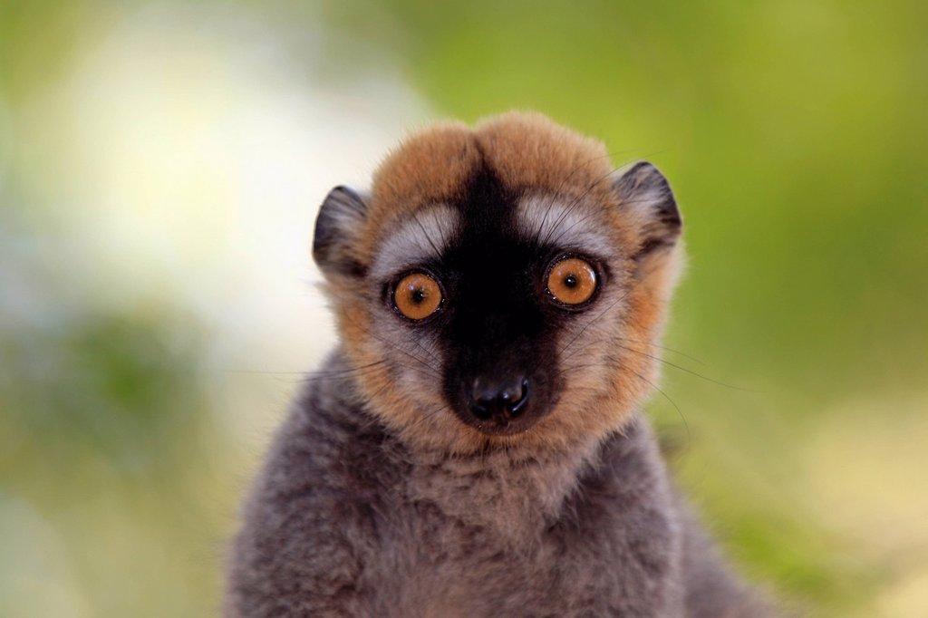 Stock Photo: 4133-30034 Red_Fronted Lemur, Lemur fulvus rufus, Berenty Reserve, Madagascar, Africa. Red_Fronted Lemur, Lemur fulvus rufus, Berenty Reserve, Madagascar, Africa, adult on tree portrait