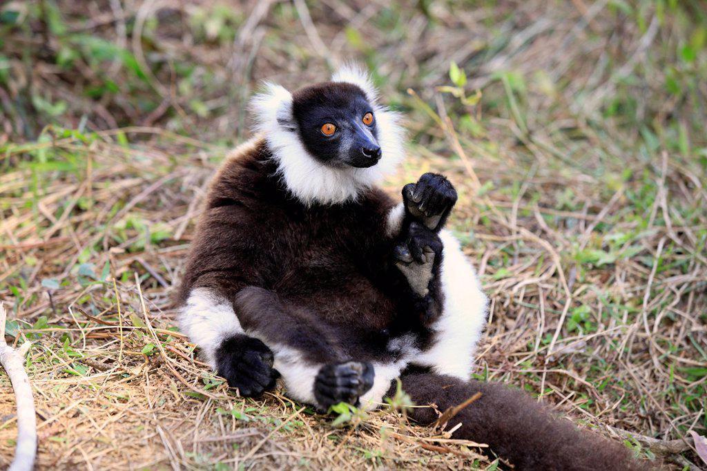 Black and White Ruffed Lemur, Lemur variegatus variegatus, Madagascar, Africa. Black and White Ruffed Lemur, Lemur variegatus variegatus, Madagascar, Africa, adult on ground : Stock Photo