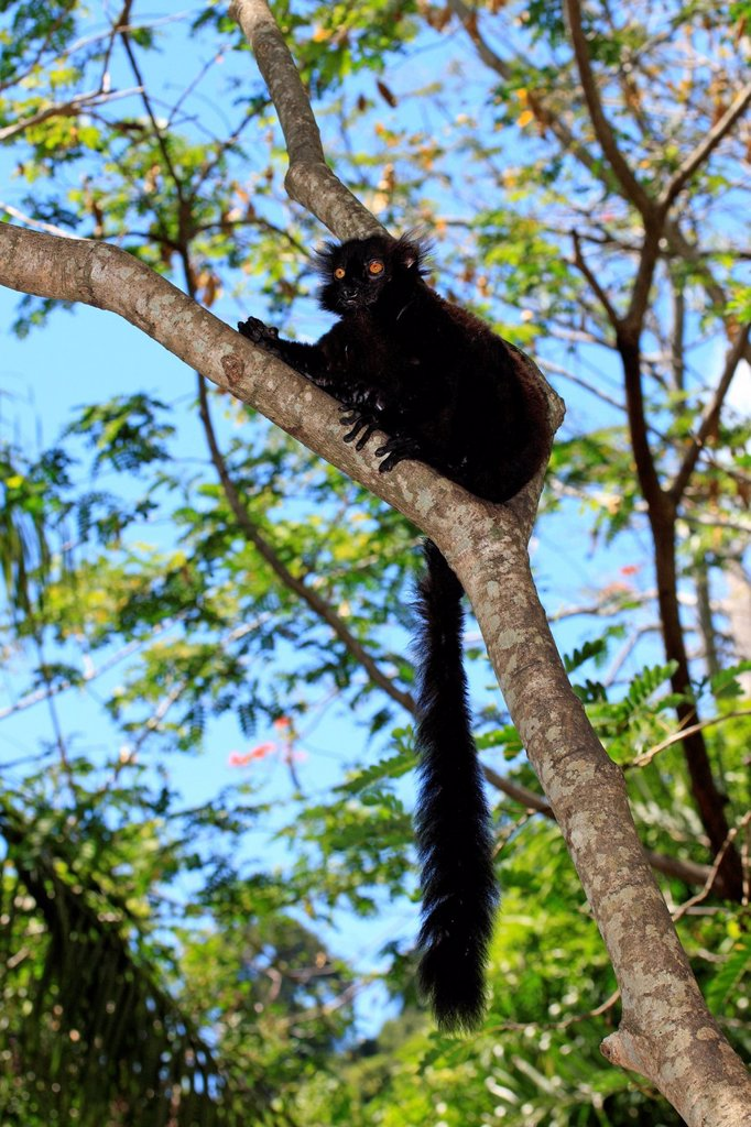 Stock Photo: 4133-30043 Black Lemur, Eulemur macaco, Nosy Komba, Madagascar, Africa. Black Lemur, Eulemur macaco, Nosy Komba, Madagascar, Africa, adult male on tree
