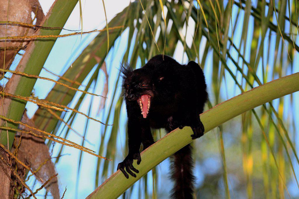 Black Lemur, Eulemur macaco, Nosy Komba, Madagascar, Africa. Black Lemur, Eulemur macaco, Nosy Komba, Madagascar, Africa, adult male jawning : Stock Photo