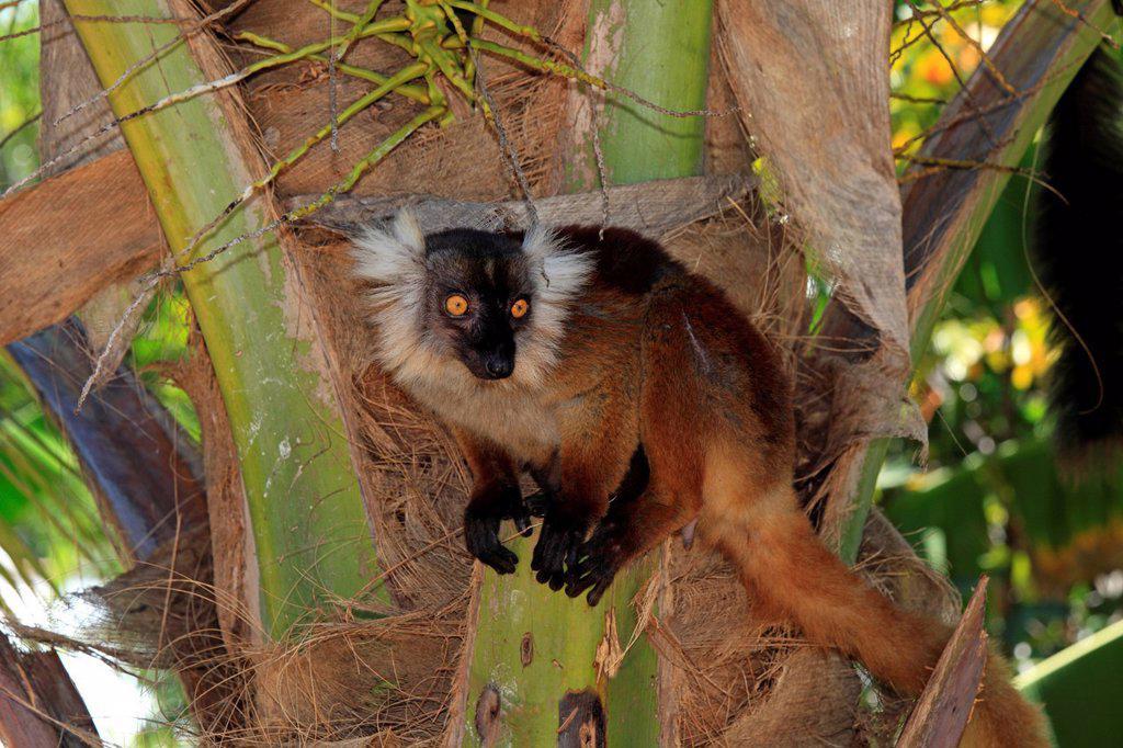 Black Lemur, Eulemur macaco, Nosy Komba, Madagascar, Africa. Black Lemur, Eulemur macaco, Nosy Komba, Madagascar, Africa, adult female : Stock Photo