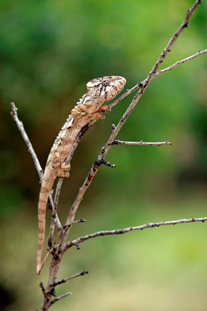 Stock Photo: 4133-30080 Warty chameleon, Furcifer verrucosus, Madagascar, Africa. Warty chameleon, Furcifer verrucosus, Madagascar, Africa, adult searching for food