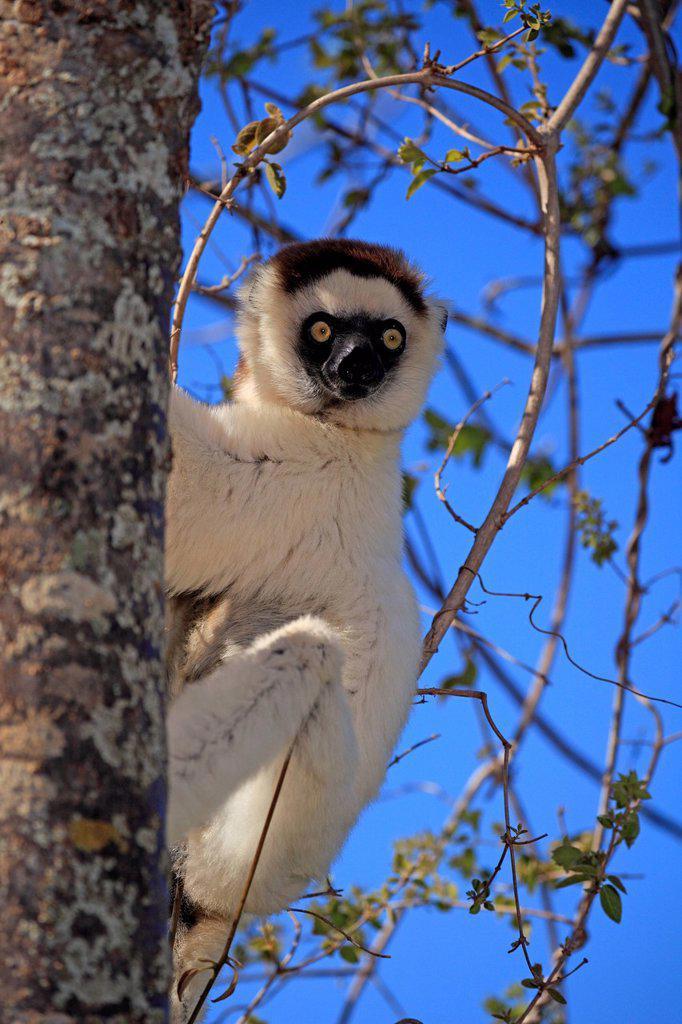 Stock Photo: 4133-30133 Verreaux`s Sifaka, Propithecus verreauxi, Berenty Reserve, Madagascar, Africa. Verreaux`s Sifaka, Propithecus verreauxi, Berenty Reserve, Madagascar, Africa, adult on tree