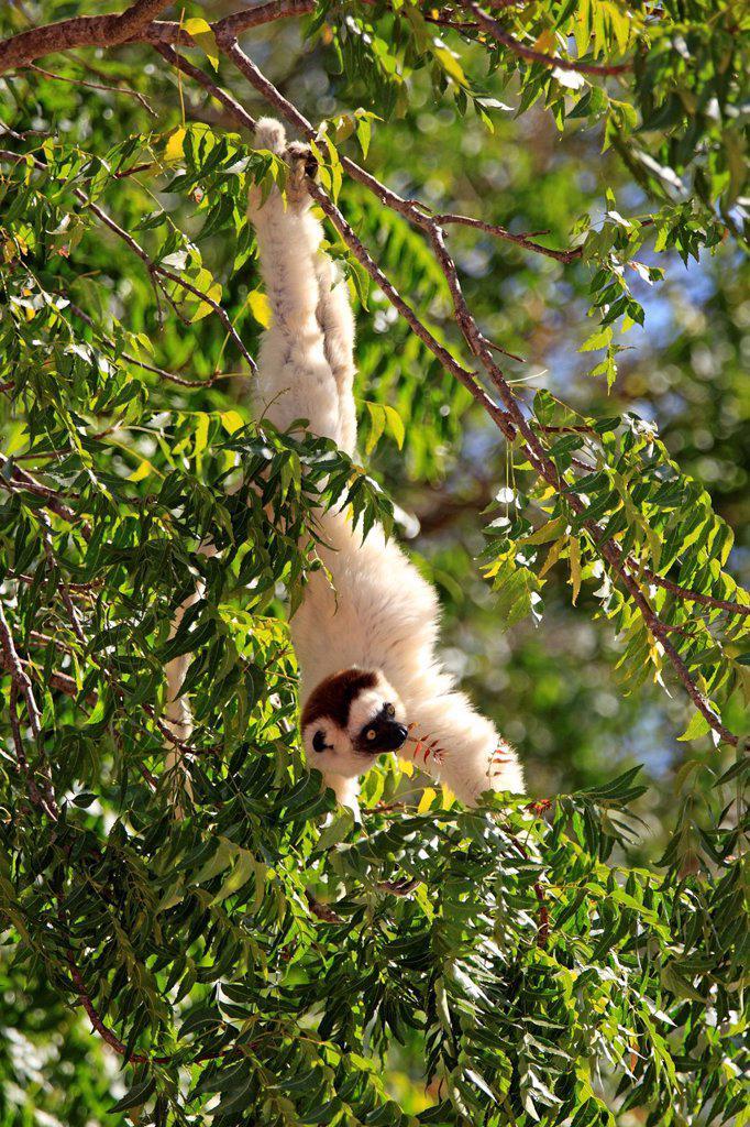Stock Photo: 4133-30136 Verreaux`s Sifaka, Propithecus verreauxi, Berenty Reserve, Madagascar, Africa. Verreaux`s Sifaka, Propithecus verreauxi, Berenty Reserve, Madagascar, Africa, adult on tree feeding