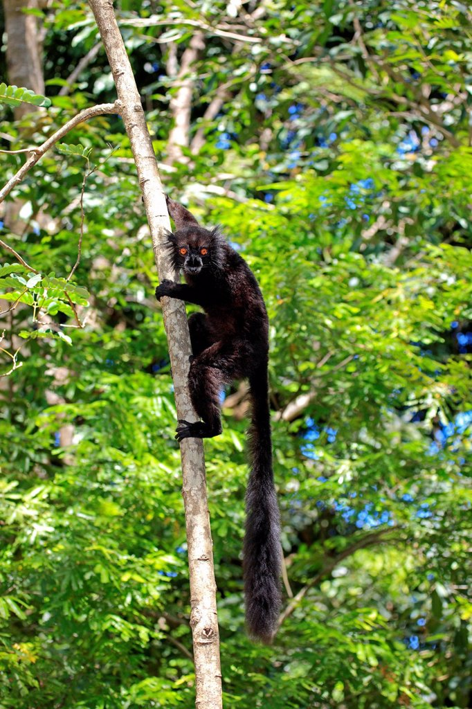 Black Lemur, Eulemur macaco, Nosy Komba, Madagascar, Africa. Black Lemur, Eulemur macaco, Nosy Komba, Madagascar, Africa, adult male on tree : Stock Photo