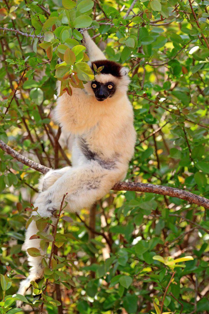 Stock Photo: 4133-30217 Verreaux`s Sifaka, Propithecus verreauxi, Berenty Reserve, Madagascar, Africa. Verreaux`s Sifaka, Propithecus verreauxi, Berenty Reserve, Madagascar, Africa, adult on tree