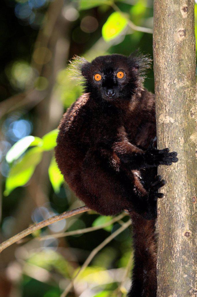Black Lemur, Eulemur macaco, Nosy Komba, Madagascar, Africa. Black Lemur, Eulemur macaco, Nosy Komba, Madagascar, Africa, adult male on tree : Stock Photo