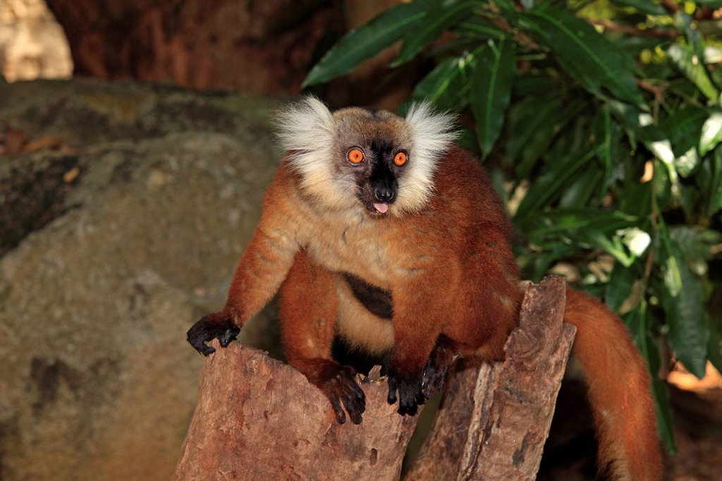 Stock Photo: 4133-30274 Black Lemur, Eulemur macaco, Nosy Komba, Madagascar, Africa. Black Lemur, Eulemur macaco, Nosy Komba, Madagascar, Africa, adult female with young