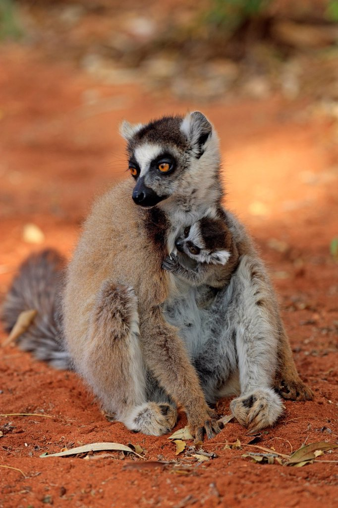 Stock Photo: 4133-30378 Ring Tailed Lemur, Lemur catta, Berenty Reserve, Madagascar, Africa. Ring Tailed Lemur, Lemur catta, Berenty Reserve, Madagascar, Africa, adult with young