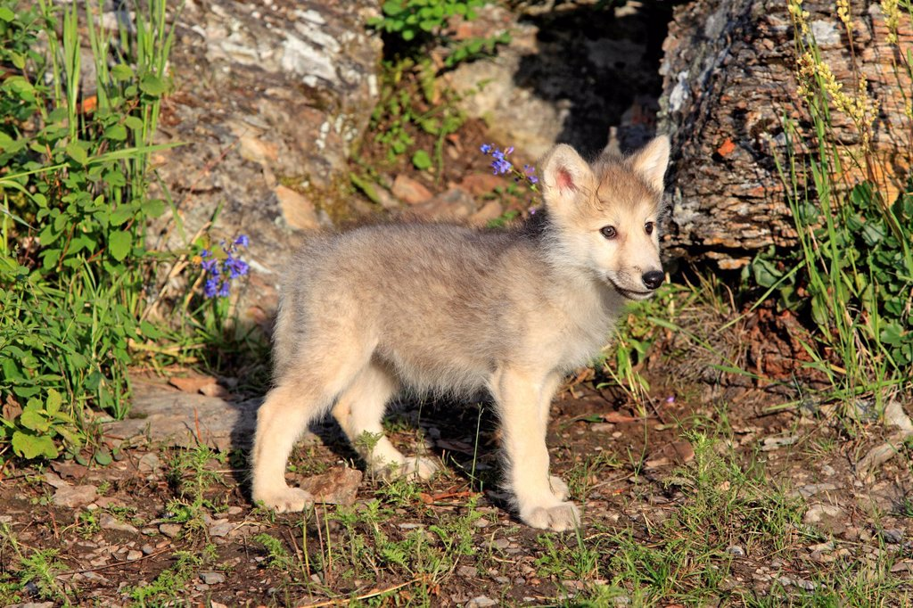 Gray Wolf,Canis lupus,Montana,USA,North America. Gray Wolf,Canis lupus,Montana,USA,North America,young eight weeks old : Stock Photo
